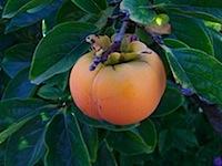 bpwa_harvestwalk07_persimmon-hachiya.jpg
