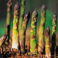grow-your-own-asparagus-af.jpg