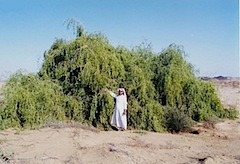 Salvadora persica (Miswak tree).Jizan area_gif.jpg