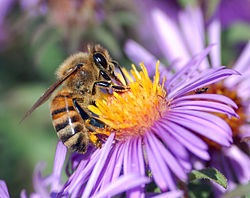 250px-European_honey_bee_extracts_nectar.jpg
